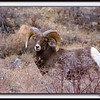 The Ram, Rocky Mtn. Big Horn