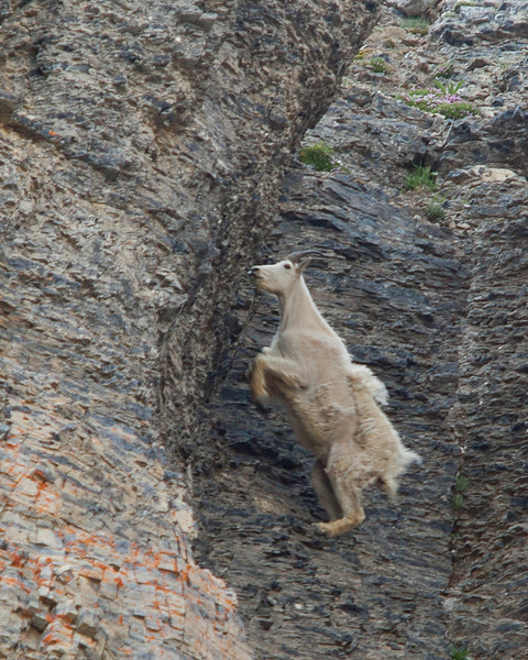 Mountain Goat in the Utah wilderness area