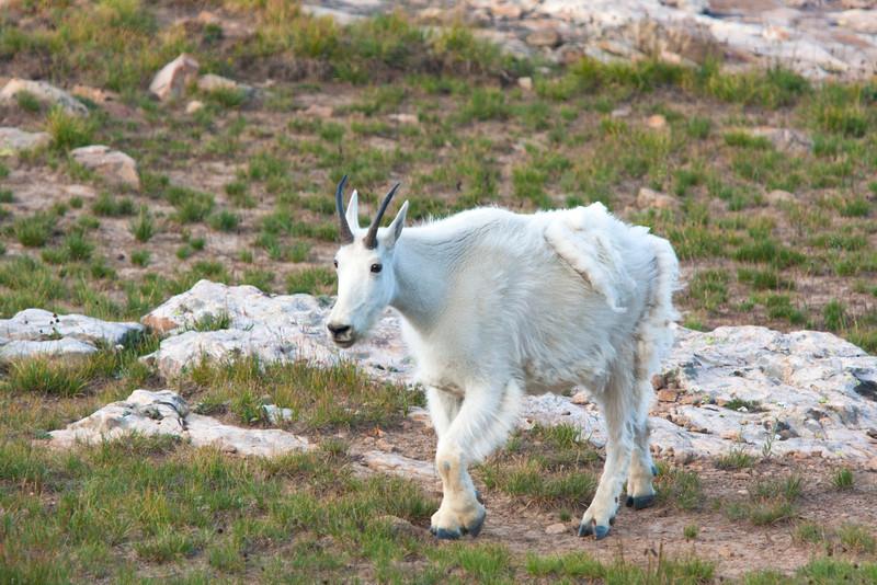 White Mtn goat, High Uintahs, Utah