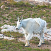 White Mtn goat, High Uintahs, Utah