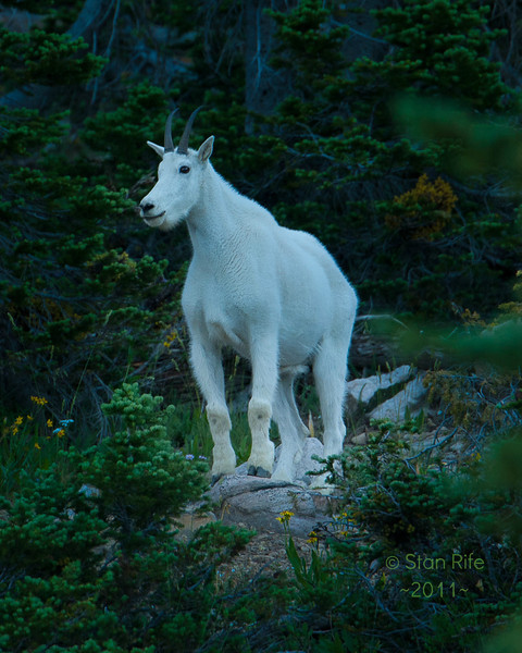 White Mountain Goat, Unitah mountains, Northern Utah