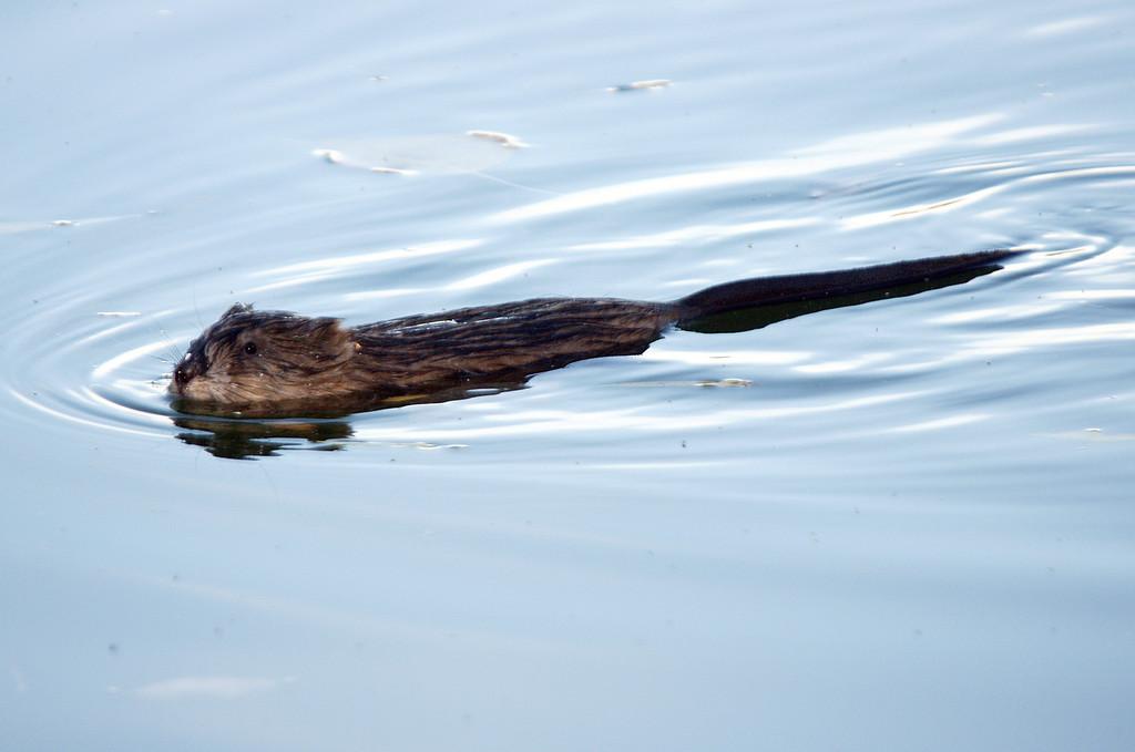 Muskrat in Bozeman Pond.  Bozeman, MT<br /> <br /> © Kirk Sagers