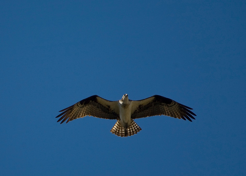 Osprey Single_1