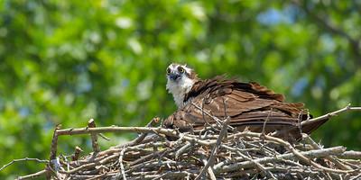 Osprey providing shade for young chicks