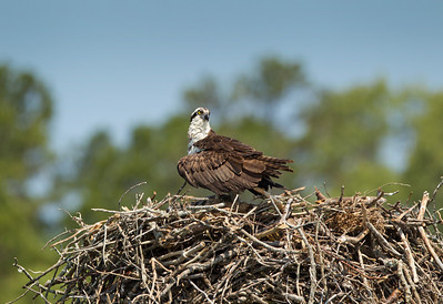 A female Osprey spread her wings to provide shade for her young chicks.  Look closely and you'll see the chick laying beneath her.