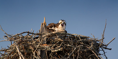 """Ever Watchfull"" An Osprey sits on eggs in a nest in Coffee Slough. After a few unsuccessful years on this nest, this pair seems to have abandoned it.  Owls, eagles and other predators are a constant threat to osprey chicks.  Photographing these birds during the nesting season requires a good amount of restraint.  We enjoy watching and photographing Ospreys especially while nesting, however, it's critically important not to disturb them.  If we get too close and she leaves the nest even for a few minutes, the eggs or chicks may be lost to predators or the elements.  We believe that nature photographers and observers should strive to leave no footprint. We consider the potential harm done to any animal we set out to capture. If there is a chance that the animals may suffer as a result of our presence, we withdraw and seek a different opportunity elsewhere."