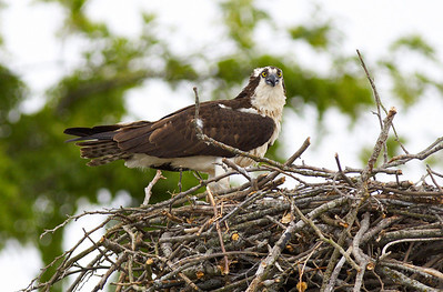 Cleo sitting proudly on a newly reconstructed nest just days before laying new eggs.  This nest was completely destroyed this winter.