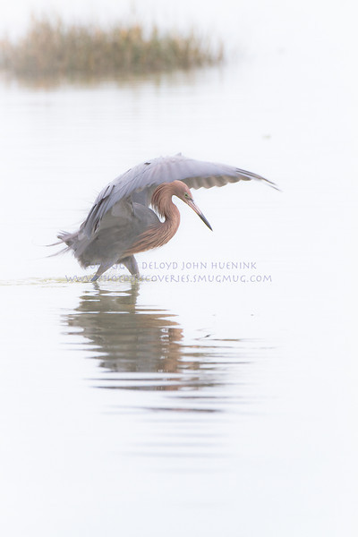 A classic hunting pose for a Reddish Egret...