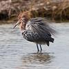 My favorite Egret...a Reddish Egret
