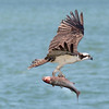 Good Catch...This osprey can barely fly, the fish is so heavy
