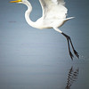 Skimming...A great White Egret skims the water during take off.