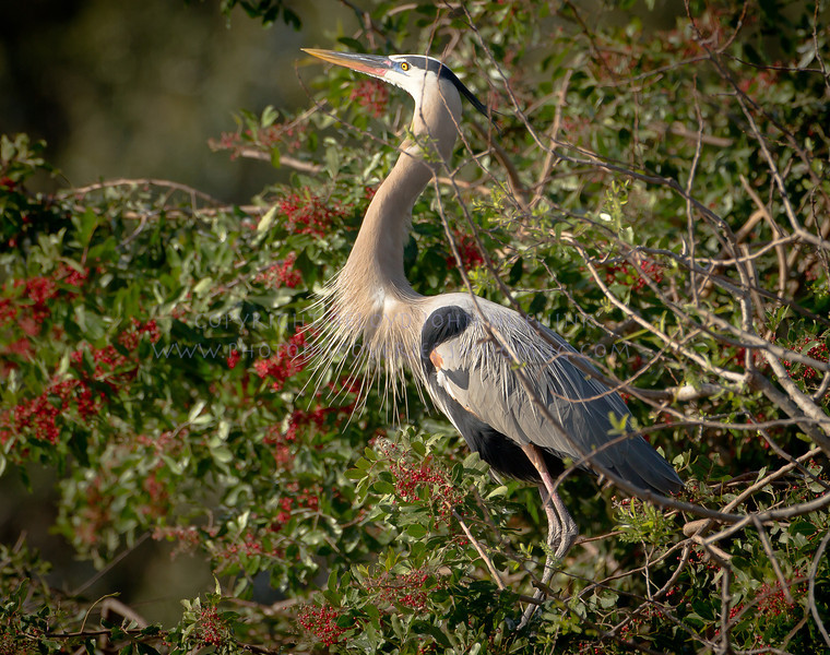 Great Blue Heron in Breeding Plumage