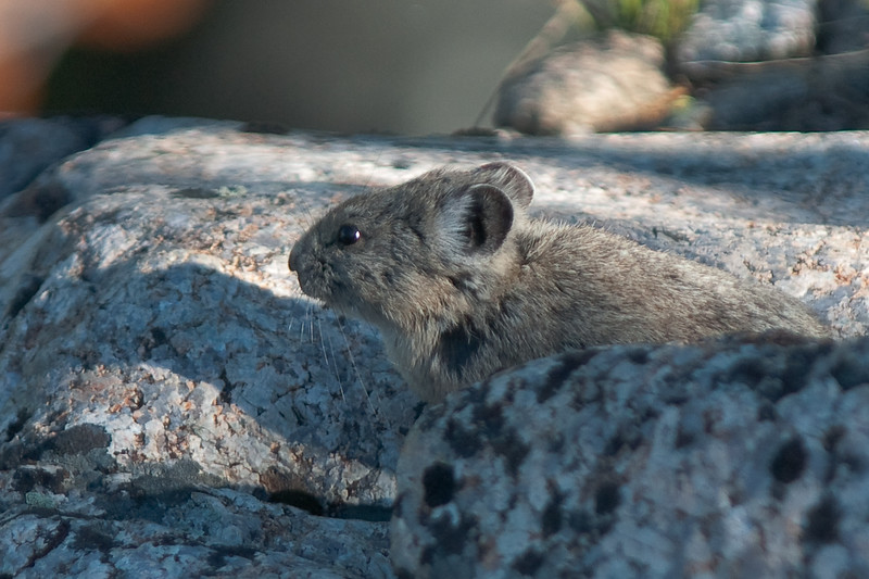 Pika in  New Fork Canyon in the Wind Rivers, Bridger Teton Wilderness Area, WY