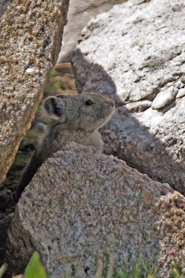Pika near Dean Lake high in the Wind Rivers, Bridger Teton Wilderness area,  WY<br /> <br /> © Kirk Sagers