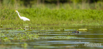 An alligator stalks an Egret who is focused on some small fish in the reeds.  The Alligator approached to within a few feet before being spotted by the Egret.