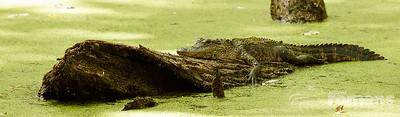 4' to 6' American Alligator.