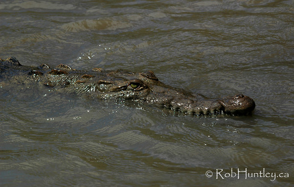 Crocodile in Palo Verde National Park, Costa Rica. This is the Tempisque River. © Rob Huntley