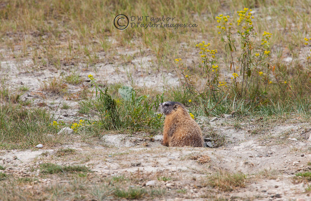 Yellow-bellied marmot (Marmota flaviventris).
