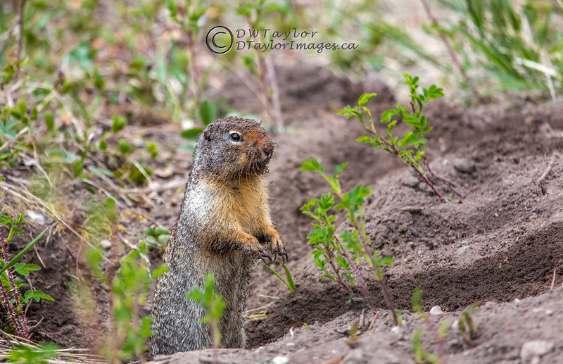 Columbian Ground Squirrel (Spermophilus columbianus).