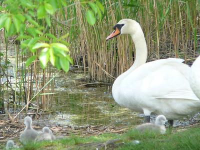 Swan family 2010