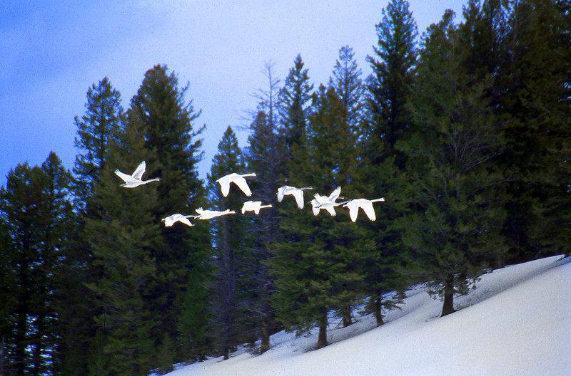 Trumpeter Swans in flight.  Grand Teton NP, WY<br /> <br /> © Kirk Sagers