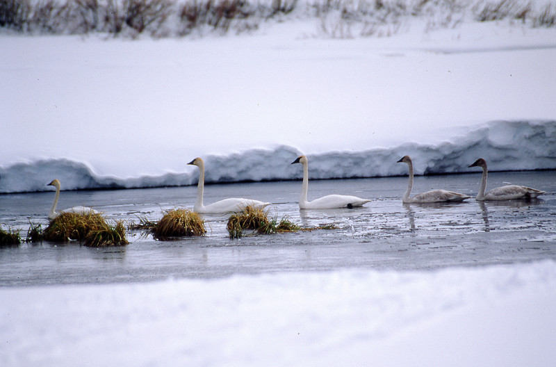 Trumpeter swans in a half frozen creek.  Grand Teton NP, WY<br /> <br /> © Kirk Sagers