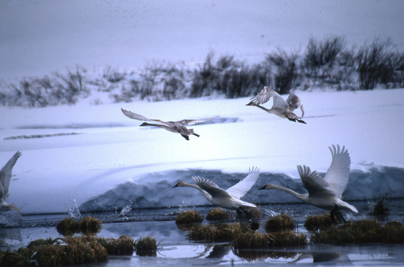 Trumpeter Swans take to the air.  Grand Teton NP, WY<br /> <br /> © Kirk Sagers