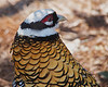 Reeve's Pheasant