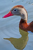 Red-Billed Whistling-Duck