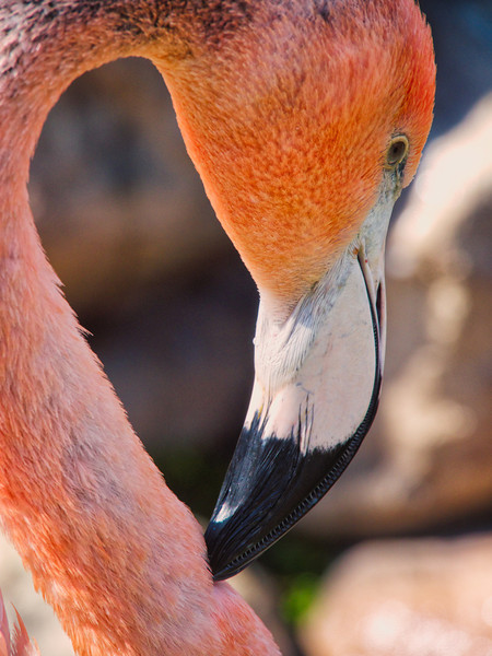 Chilean Flamingo Profile