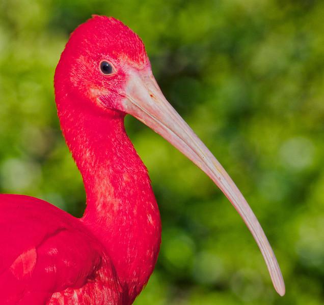 Scarlet Ibis Profile