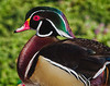 American Wood Duck; left profile