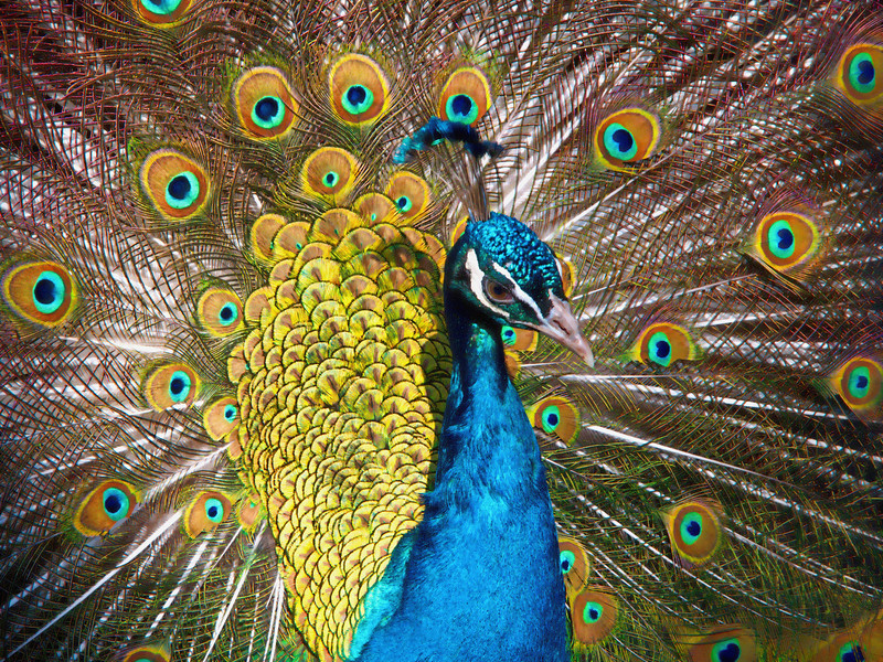 Peacock in full display; left profile