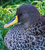 African Yellow-billed Duck