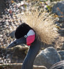 West African Crowned Crane Profile