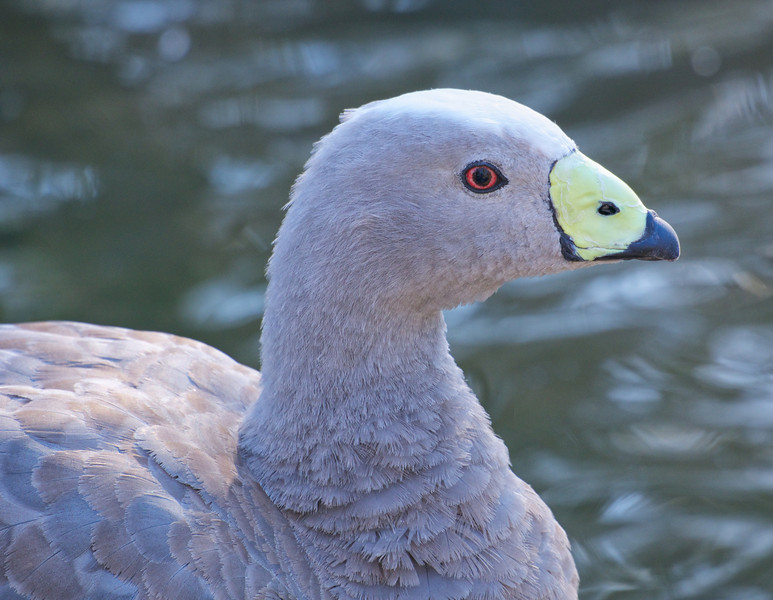 Cape Barron Goose