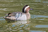 Garganey (male)