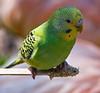 Budgerigar Parakeet