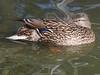Mallard (female) with blue speculum