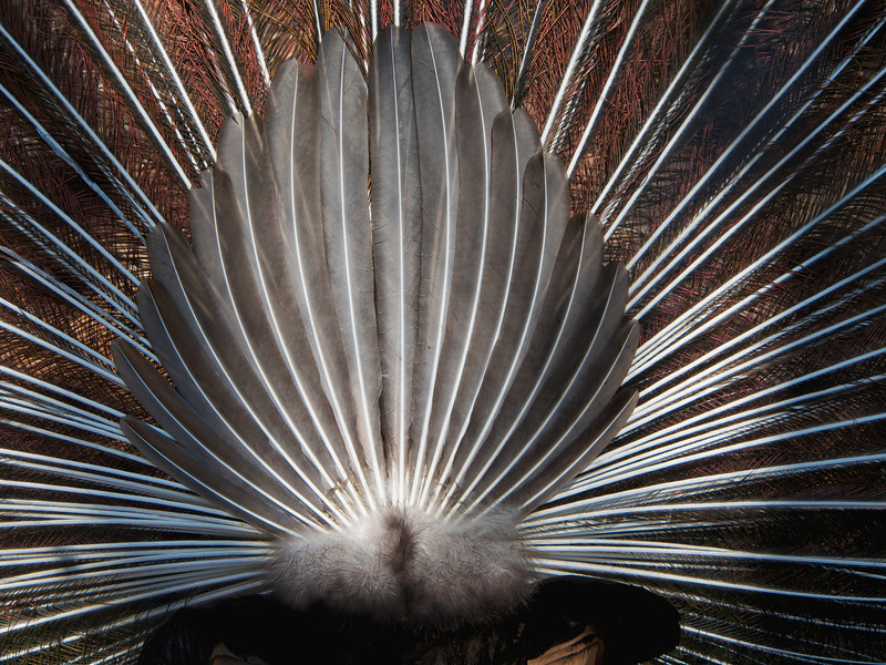 Peacock feather display; rear view