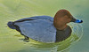 Common (Eurasian) Pochard