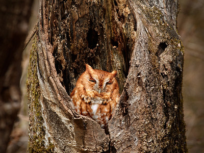 """Red Phase Screech Owl""  This small owl became somewhat of a project of mine last year. Owls have incredible eyesight and his home was strategicly placed in such a way that sneaking up quietly was never an option. In order to capture images of this special red-phase raptor, I had to set-up a camera in camouflage and then back off and watch him through binaculars. Finally on the second day of waiting patiently for ""Red"" to reappear from his hideout, he began to peek around to see if I had gone. The next image is the first moment as he had eyes wide open looking for me. I used a radio-remote trigger to fire the camera from a hidden position approximately 70 yards from the nest."