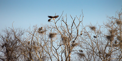"""Tough Neighborhood""  A pair of Bald Eagles return to a perch in the middle of a Great Blue Heron rookery on Jackson Island below Wilson Dam."