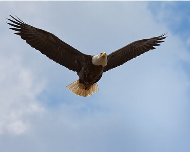 """Air Supremacy""  An adult Bald Eagle patrols its territory during the winter of 2010."