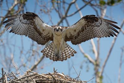 Osprey (Padion haliaetus)