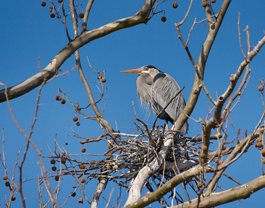 """High Rise""  A male Blue Heron is adorned in his spring colors. He's sitting on the beginnings of a new nest. Nesting sites in The Shoals may become very crowded. Jackson Island below Wilson Dam is a favorite rookery for several species including the Blue Herons."