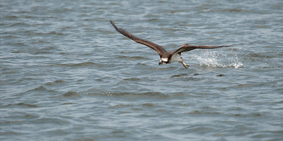 """Cooling Off"" An Osprey (Pandion haliaetus) skims the waters surface dragging its talons to create a spray that splashes onto its body.  In Summer this helps keep the bird cool. However when the Osprey is sitting on eggs in the nest, this moisture is important to the well being of the eggs."