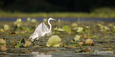 _JR_0662 Heron In Pads