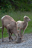 Rocky Mountain Big Horn Sheep at a mineral lick in Kananaskis Country, Alberta
