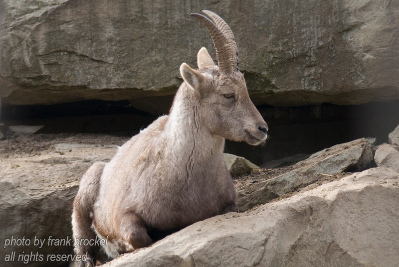 An Ibex on the rocks